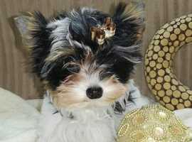 Little Biewer terrier girl for sale