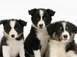 Border collie pup wanted