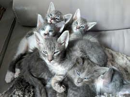 Beautiful Laperm X Siamese Kittens