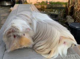 Guinea pigs looking for 5* homes.