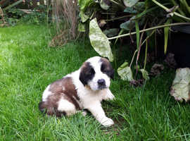 Kc Registered St bernard pups
