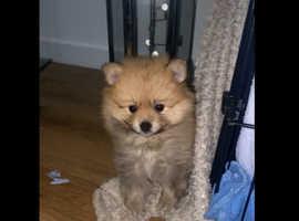 8 Week Old Female Pomeranian Puppy