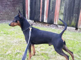 Male english toy terrier