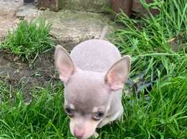 Blue&Lilac Tan brothers miniture Chihuahuas