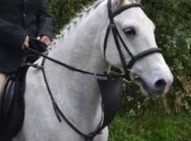 Super Quiet Reg Irish Draught X Connemara gelding 15.2hh 5 yrs hunter