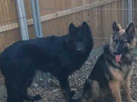 Stunning German Shepherd Puppy's 2 left