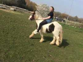 Teddy 4yo 12hh riding gelding