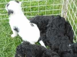 Jackapoo Puppies - READY NOW!
