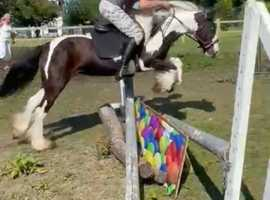 Beautiful 13hh piebald cob mare 7yrs