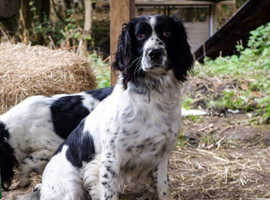 Field English Springer spaniel puppies (two boys left)