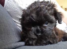 Shitzu /miniature poodle (shihpoo)