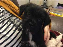 Yorkshire terrier x pug puppy for sale