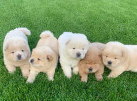 1 Male and 1 Female Chow Chow Puppy
