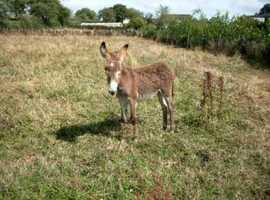 Donkey / Male / 21Mths. / Intact.