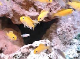 yellow lab juveniles