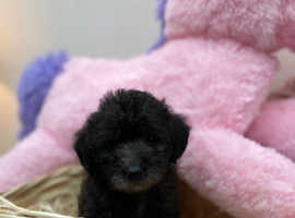 Gorgeous shihpoo puppy