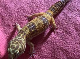 Adult leopard geckos for sale - 3