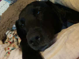 Looking for a Labrador puppy