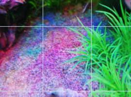 TRUMPET SNAILS 4 FISH TANKS FREEEEEEEEE