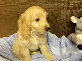 Stunning Cockapoo Puppies - Boys and Girls