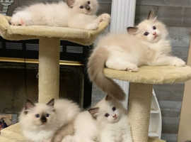 TICA registered Ragdoll Kittens