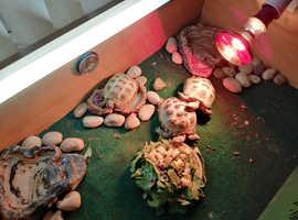 3 beautiful  tortoises  for sale