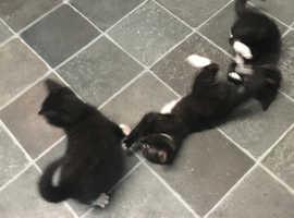 Lovely mixed litter kittens
