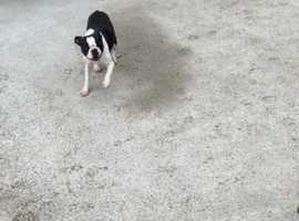 Kc Boston Terrier Females