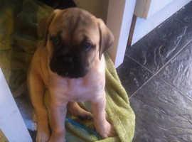 K.C REG bull mastif pups
