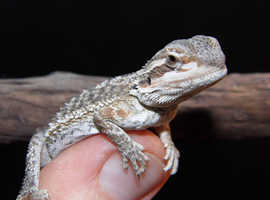 Bearded Dragons Currently 12 Weeks Old.