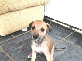 Collie greyhound whippet cross puppies
