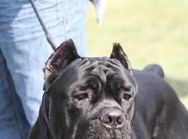 OLD BLOOD CANE CORSO PUPS