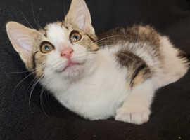 Beautiful Tabby Female Kitten