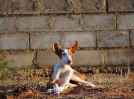 5 Month old Ibizan Hound