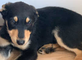 Rottweiler X German shepherd