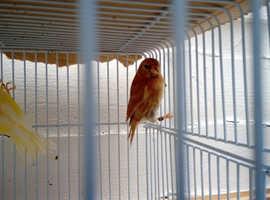 Isabel redpoll hen,,,,