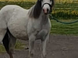 Gorgeous Welsh A yearling