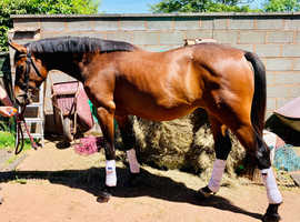Showjumping bred mare