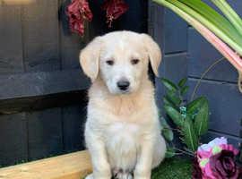 Adorable shepadoodle pups