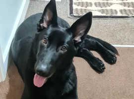 Rare Intelligent Black Male German Shepherd Puppy 6 months old