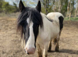 Super sweet happy hacker mare
