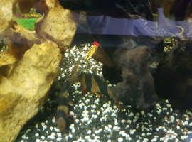 2 Clown Loaches and 1 Male Guppy