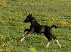 Show quality black welsh colt