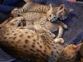 Savannah F6 SBT stunning kittens