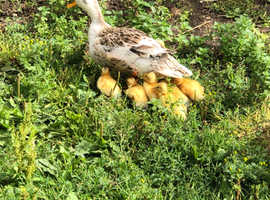 Miniature Silver Appleyard Ducklings Foresale