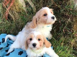 Cute Cavachon puppies
