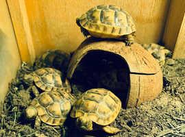Mediterranean spur thigh tortoise hatchlings