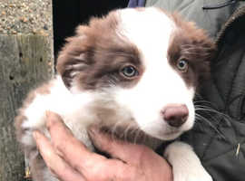 Border Collie Pup for Sale - Working Parents - One Only!