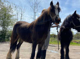 2 filly cobs 10 months old