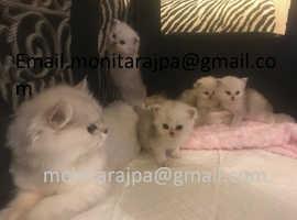 Stunning Pedigree Persian Kittens